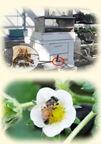 ミツバチさんお仕事中